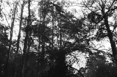 Tree fern (Matthew Paul Argall) Tags: smenasymbol 35mmfilm 100isofilm blackandwhite blackandwhitefilm kentmerepan100 plant plants