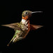 Male Ruby-throated Hummingbird (Bob Gilley) Tags: male hummingbird maryland elkton rubythroated