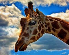Some folks always seem to have their head in the clouds !! (Bob's Digital Eye 2) Tags: aug2019 bobsdigitaleye2 canon canonefs55250mmf456isstm giraffe flicker flickr safarinorth