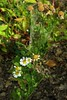 *Tanacetum parthenium FEVERFEW (openspacer) Tags: asteraceae feverfew jasperridgebiologicalpreserve jrbp nonnative tanacetum