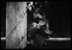 vines on concrete railing - Rodinal stand 1hr (the other Matt Jones) Tags: rodinal stand 2468 kodak film canon10qd 35mmf14 blackandwhite