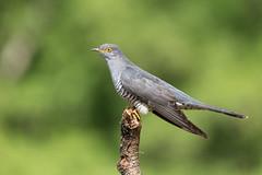 Cuckoo (robin elliott photography) Tags: cuckoo cuckoos bird birds birdwatch wings feathers outside outdoors nikon nikon200500 nikond850