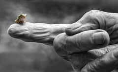 just a blip on my finger (marianna armata) Tags: greytreefrog animal color frog green macro tiny canadian montreal quebec canada lumix g9 mariannaarmata