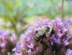 Busy Bumble Bee (shelly.morgan50) Tags: shellymorgan50 panasoniclumixdczs200 bee nature colorful flowers flower bokeh macro savethebees pollinator usa midwest pollen sunshine light closeup bumblebee bokehoftheday8242019