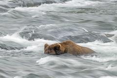 Snorkeling for salmon (Tom Fenske Photography) Tags: bear brown motion blur slow katmai water alaska river grizzly brooksfalls
