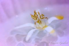 Imagination .. (frederic.gombert) Tags: flower limon color pink soft light sun summer white bloom blossomnikon macro