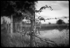 vine fence sunset (the other Matt Jones) Tags: kodak 2468 blackandwhite film canon10qd xtolstock developer