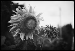 sun flower (the other Matt Jones) Tags: kodak 2468 blackandwhite film canon10qd xtolstock developer