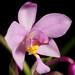 [Onna-son, Okinawa, Japan / 沖縄県国頭郡恩納村] Spathoglottis plicata Blume, Bijdr. Fl. Ned. Ind.: 401 (1825)