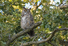 Great Horned Owl. (Estrada77) Tags: greathornedowl owl raptors birdsofprey distinguishedraptors nikon nikond500200500mm nature summer2019 aug2019 kanecounty illinois wildlife outdoors perched