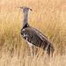 Kori Bustard, Maasai Mara