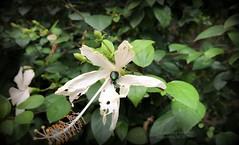 Sometimes... (Anuradha Nautiyal) Tags: insect green beetle metallic greenbeetle bloom blossom hibiscus flower whitehibiscusflower flora phonephotography shotoniphone iphonex bangalore bengaluru karnataka india cetonia