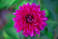 Dahlia Dazzle (imageClear) Tags: garden summer color beauty perennial dahlia fuchsia green neighbor nature aperture nikon d600 105mm macro imageclear flickr photostream