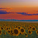 Sunflower field and a Rocky Mountain sunset (oceanzam) Tags: sun sunset sunflower flower field park nature beauty dusk mountains landscape panorama airport outdoors outside summer colorado color colorful colour art sky clouds rockies country orange pink denver garden explosion countryside light dark desert plains west