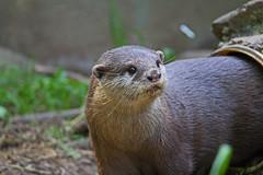 otter stare - Otters and Butterflies - Buckfastleigh, Devon - June 2019 (Dis da fi we) Tags: otter stare otters butterflies buckfastleigh devon