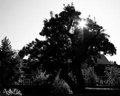 Oldest peartree © Inge Hoogendoorn (ingehoogendoorn) Tags: denhaag thehague trees tree backlight tegenlicht boom bomen nature lightstar light