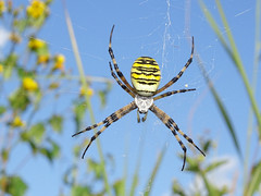 Photo of Wasp Spider (Argiope bruennichi)