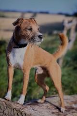 Dexter (dkbristow) Tags: 85mmf18 eosr canoneosr canine pet patterdale dog