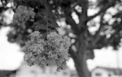 Crape Myrtle (odeleapple) Tags: nikon f100 nikkor 50mm yellowfilter neopan100acros film monochrome analog bw crapemyrtle