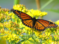 Always bring your own sunshine!! (Laura Rowan) Tags: viceroy butterfly summer elmhurst yellow bloom blossom sunshine