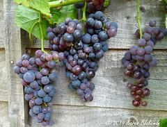 August 23rd, 2019 Grapes (karenblakeman) Tags: cavershamgarden caversham uk groapes fruit 2019 2019pad august reading berkshire