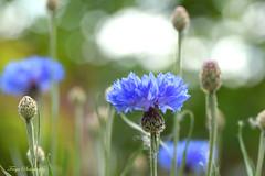 Cornflower blue... (Maria Godfrida) Tags: lookingcloseonfriday blue cornflowers nature flora plants green bokeh closeup macro summer flowers field wildflowers buds petals challengeonflickr cof078 floracloseup cof078mark cof078patr cofo78nico cofo78cott cof078uki cof078red cof078lep cof078dmnq