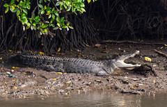 A Crocodile basking in the Sun (Shahzad.Siddiqui) Tags: crocodile sunning basking suntan croc reptile coldblooded animals wildlife wildlifephotography mangroves marshes wetland naturereserve sungeibolah singapore asia