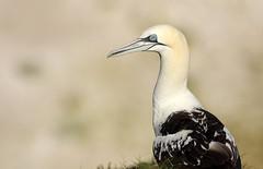 (Northern) Gannet (steve whiteley) Tags: wildlife wildlifephotography nature bird birdphotography seabird bempton gannet morusbassanus northerngannet