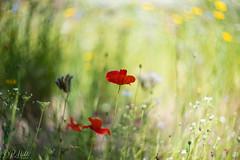 Lone Poppy (D. R. Hill Photography) Tags: poppy flower nature park garden green red plants grass nikon nikond750 d750 zenit helios helioslens helios402n helios402n85mmf15 helios402 85mm primelens fixedfocallength manualfocus russianlens bokeh depthoffield