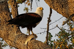 African Fish Eagle - Pygargue vocifer (happybirds.ch) Tags: happybirdsch afrique africa kruger south sud afriquedusud southafrica nature wildlife sauvage wild bird oiseau africanfisheagle pygarguevocifer pygargue vocifer fish eagle haliaeetusvocifer