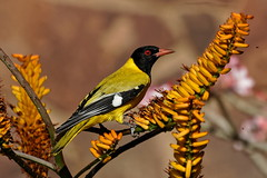 Black-headed Oriole - Loriot masqué (happybirds.ch) Tags: happybirdsch afrique africa kruger south sud afriquedusud southafrica nature wildlife sauvage wild bird oiseau oriole loriot blackheadedoriole black loriotmasqué masqué orioluslarvatus