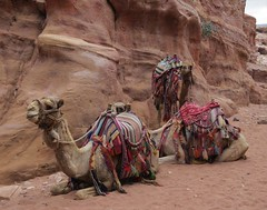 Petra Camels (tom_2014) Tags: petra camel camels tourist travel famous landmark unesco worldheritage worldheritagesite arabic jordan asia asian levant neareast dromodary camelride tourism animal mammal species colourful harness saddle desert petracamels middleeast arab bedouin