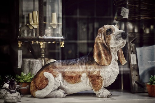 Basset in a Window