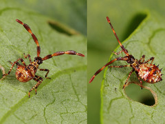 EOS 7D Mark II_089460_C (Gertjan Kamsteeg) Tags: animal bug invertebrate macro insect wants truebug coreidae heteroptera leaffootedbug coreusmarginatus dockbug zuringwants lederwants zuringrandwants randwants heteropteran fluweelbruinerandwants coreidbug