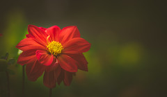 dahlia (Dhina A) Tags: sony a7rii ilce7rm2 a7r2 a7r kaleinar mc 100mm f28 kaleinar100mmf28 5n m42 nikonf russian ussr soviet 6blades manualfocus dahlia flower bokeh summer