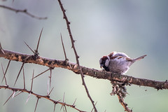 House sparrow - Passer domesticus - Huismus (cradenborg) Tags: c cceradenborg 2019 housesparrow huismus kenia kenya nature openbaar passerdomesticus passeridae passeriformes public safari wildlife zangvogels