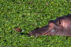 african jacana - hippo - Kruger NP - South Africa (bart coessens) Tags: animals animal hippo hippopothamus mammal mammals herbivore wildlife wildanimals wild game gameviewing gamedrive safari sanp sanparks birds bird africanjacana letaba river letabariver southafrica southafricannationalparks southernafrica limpopo kruger krugernationalpark