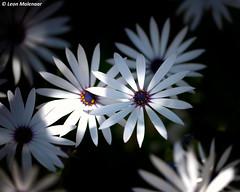Cape daisies (leendert3) Tags: leonmolenaar southafrica wildflowers capedaisy nature naturalhabitat flowers drakensbergmoutains haenertsburg magoebaskloof limpopoprovince ngc npc coth5