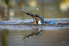 Up periscope! (andy_harris62) Tags: kingfisher kingy bird water splash waterdroplets nikond850 nikkor300mmf28 nature naturephotography wildlife wildlifephotography wildlifehides outdoors outside