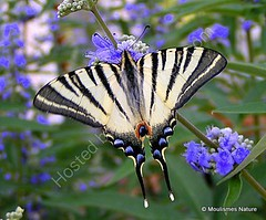 Scarce Swallowtail (Iphiclides podalirius) (Nick Ransdale) Tags: scarce swallowtail iphiclides podalirius