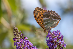 Papillon (clamar18) Tags: buddleia fleurs jardin marron orange papillon tabacdespagne