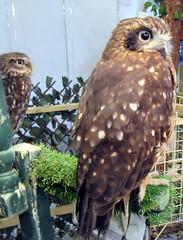Toddy and Thor (billnbenj) Tags: barrow cumbria owl tawnyowl raptor birdofprey littleowl