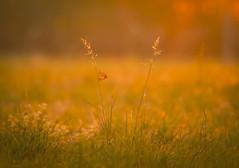 6:45 a.m. (hardy-gjK) Tags: schmetterling buttrertfly papillon sonnenaufgang leverdusoleil sunrise gras grass herbe wiese prairie meadow light licht lumière hardy nikon macro nahaufnahme