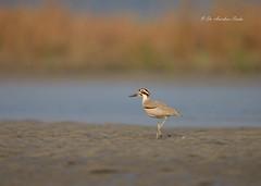 On a Sweet March.... (Anirban Sinha 80) Tags: nikon d614 fx 500mm f4 ed vrii n g bird bokeh wetland river habitat natural nature wildlife