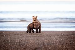 Playful... (DTT67) Tags: coastalbrownbears grizzly cubs bearcubs bears lakeclark alaska canon1dxmkii 1dxmkii canon nature wildlife