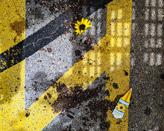230/365 (local paparazzi (isthmusportrait.com)) Tags: 365project lopaps pod 2019 redskyrocketman localpaparazzi isthmusportrait madisonwisconsinphotographer colorful vibrant beautiful googlepixel3 pixel3 cellphone catchycolorsyellow flower sunflower dead alive ground rough texture shadows diagonal straight lines minimalism simplistic minimal parking lot pavement