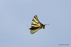 IMG_4908. Scarce Swallowtail (Iphiclides podalirius) (Nick Ransdale) Tags: scarce swallowtail iphiclides podalirius