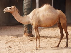 Camel (Mathew S Thomas) Tags: sonyilce6400 sonya6400 zoo camel animal abudhabi uae