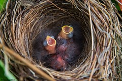 Day-old Chipping Sparrows (Daniel Cadieux) Tags: sparrow chippingsparrow hatchling nest nestlings nesting baby babies hungry ottawa newborn three triplets trio