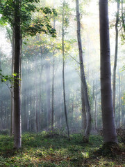 Touch the light (juliendumont2) Tags: tree light sun mist fog forest woods woodland forestscape landscape nature naturephotography mothernature morning inexplore amomentintime greenscene fineart canon belgium ray foliage green trunk branch